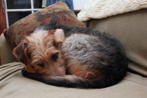 dog-curled-up