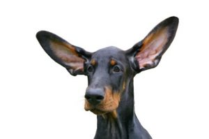 dog-big-ears