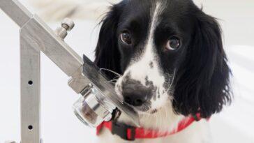 Coronavirus Sniffer Dog